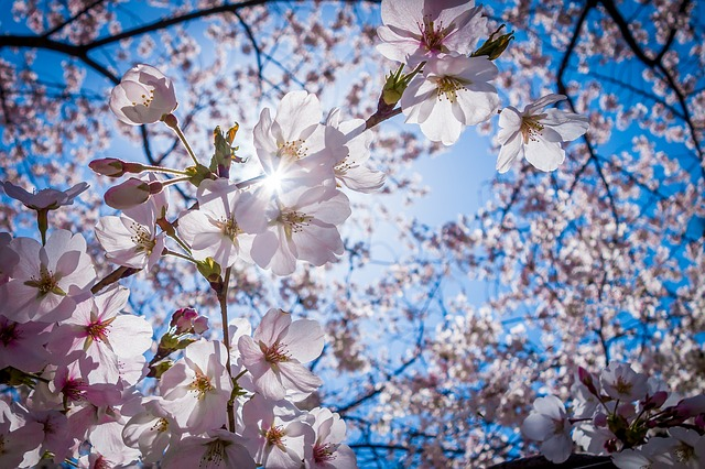 cherry-blossoms-1716763_640